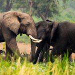 elephants-in-uganda